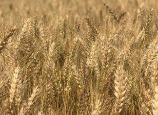 Buğday üretiminden kaçış korkutuyor