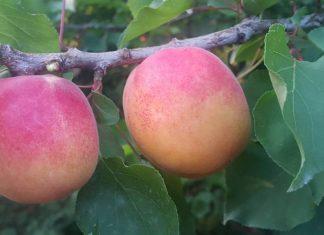 Rusya istedi, yaş meyve ve sebze kayıt altına alınıyor