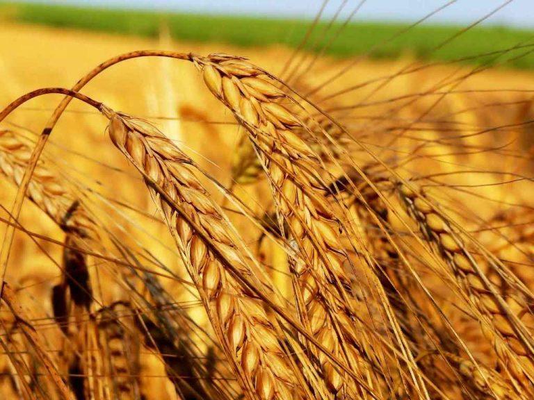 Buğday fiyatı ve destekleme primi ne kadar olmalı?